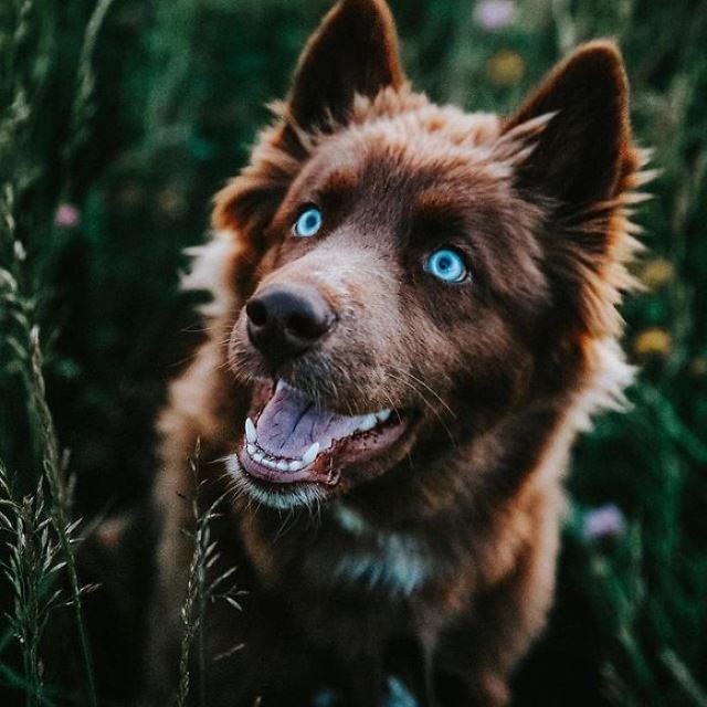 Quoi Siberian Husky smile