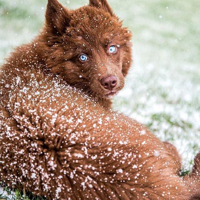 Quoi Siberian Husky snow