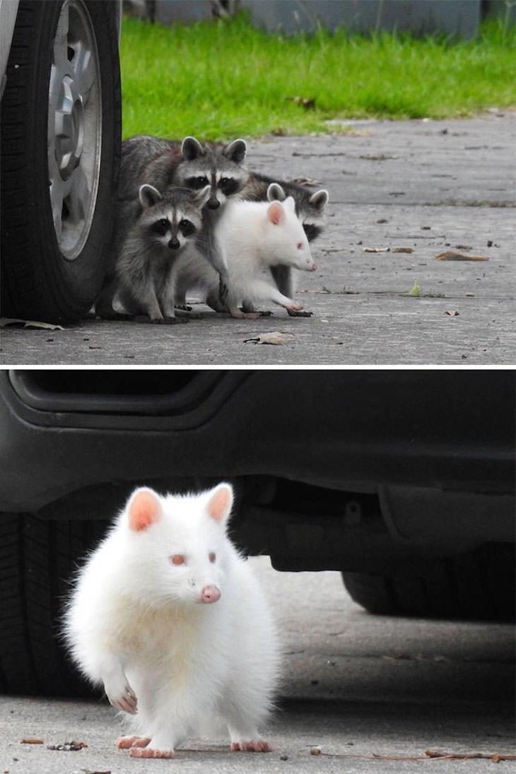 20 Hilarious and Heartwarming Raccoon Photos, albino