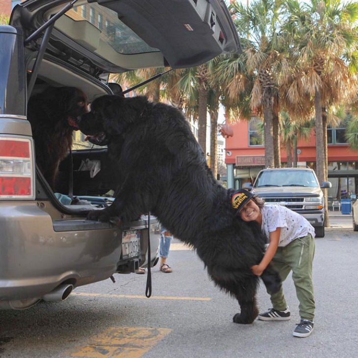 Enormous Dogs Being Cute car