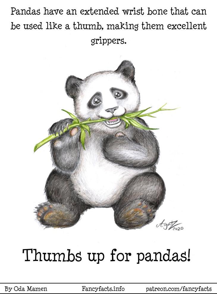 Illustrated Scientific Facts, Pandas