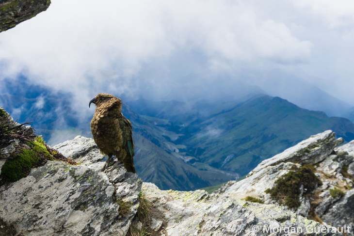 Nature of New Zealand by Morgan Guerault A Kea Bird at the Top of Ben Lomond