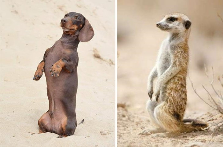 Dog Lookalikes I'm convinced I have a meerkat, not a dachshund