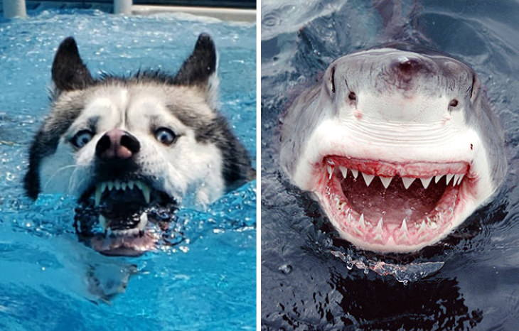 Dog Lookalikes Titan the Husky Shark