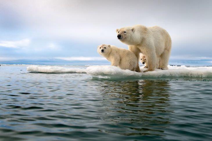 Budapest International Foto Awards winnersת Polar Bear Family In A Melting World byRoie Galitz