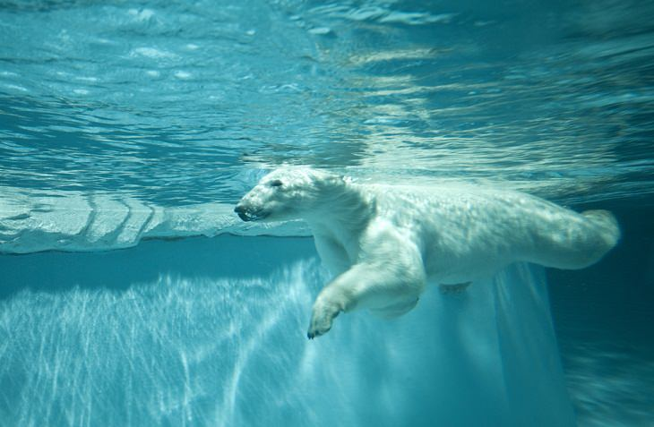 Polar Bears, swimmers