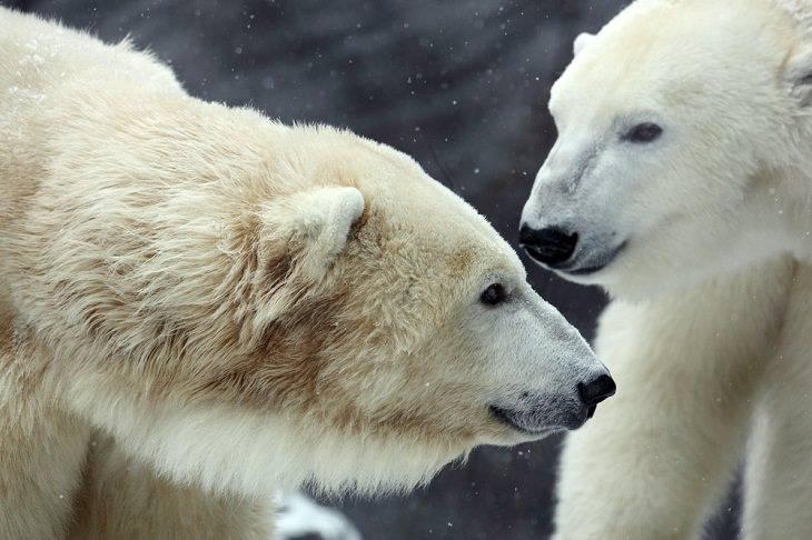 Polar Bears, fur,