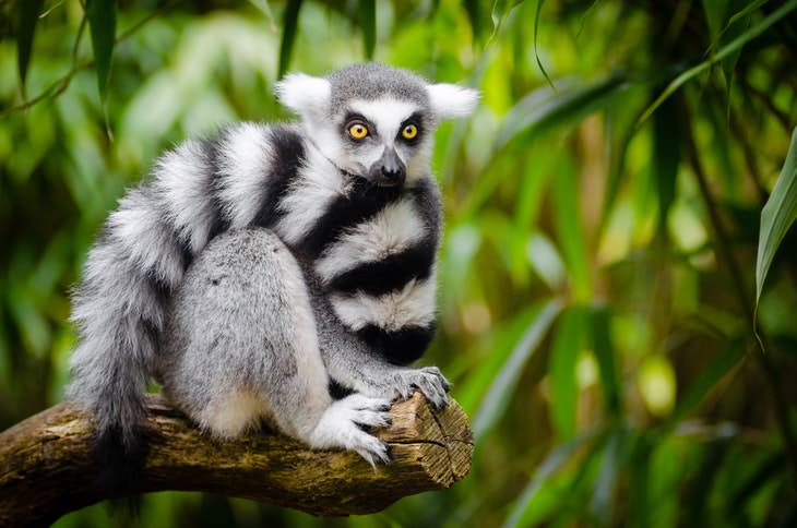 fun etymology Lemur