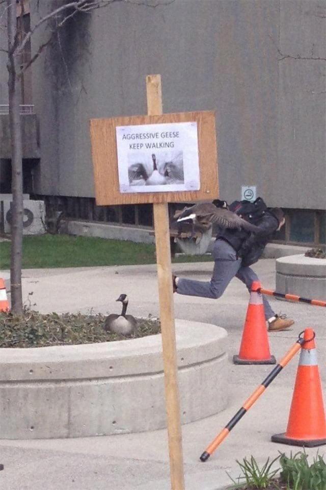 Funny Wildlife Photos aggressive geese
