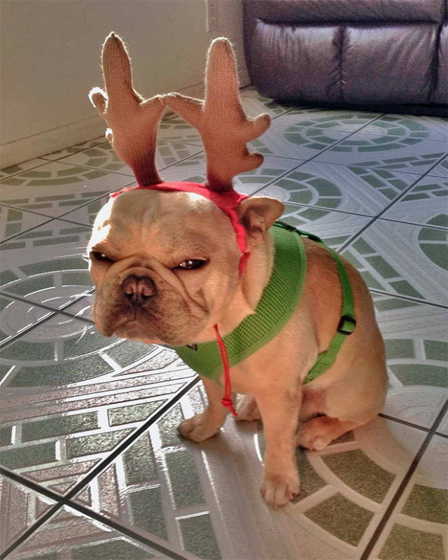 Pissed off pets in Christmas costumes Grinch
