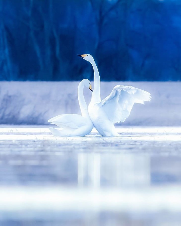 Ossi Saarinen animal photography swans