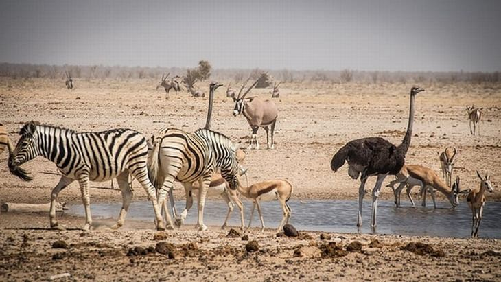 Ostriches and Zebras