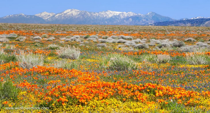 California poppies, Lupine and Desert goldfields, Antelope Valley California Poppy Reserve with San Bernadino Mountains in the background, California.