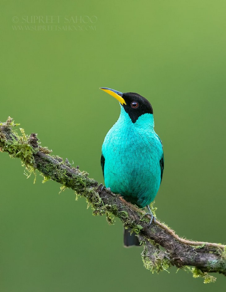 incredible birds: Green Honeycreeper