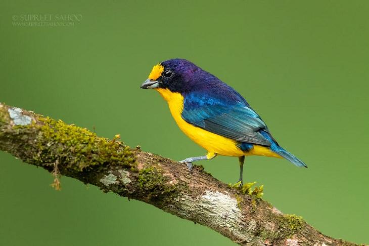 Beautiful Birds, Violaceous Euphonia