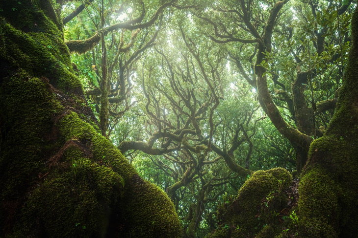 Fanal Forest Madeira by Albert Dros
