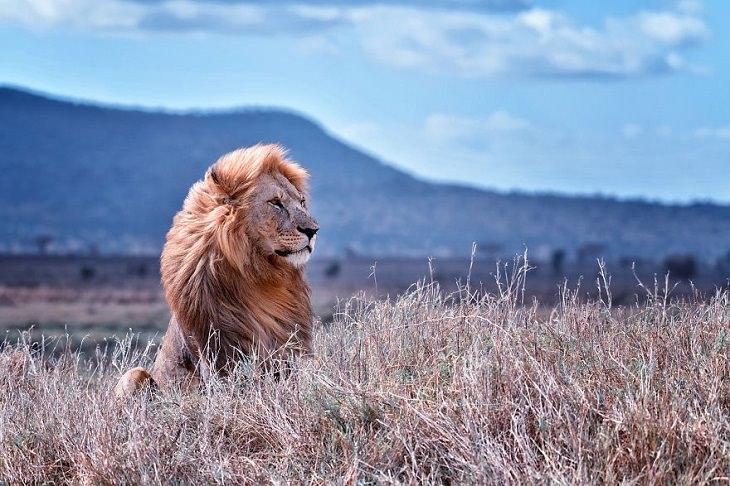 תמונות מתחרות צילום חיות בר לשנת 2020: אריה יושב בשדה ומסתכל הצידה, וברקע הרים