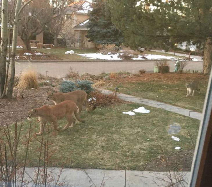 animals exploring streets during quarantines coronavirus mountain lions