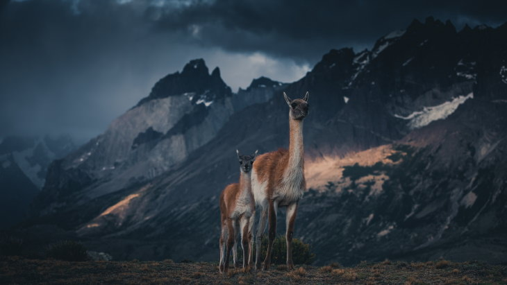 Patagonia Wildlife Photos by Konsta Punkka llama
