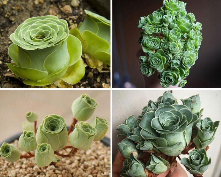 photos of succulents Rose Succulent Greenovia dodrantalis Origin: Canary Islands