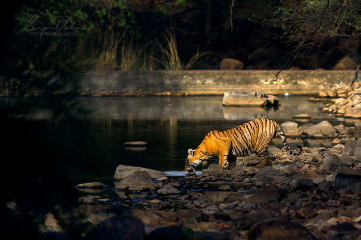 Fowls and Mammals of India Supreet Sahoo Tiger