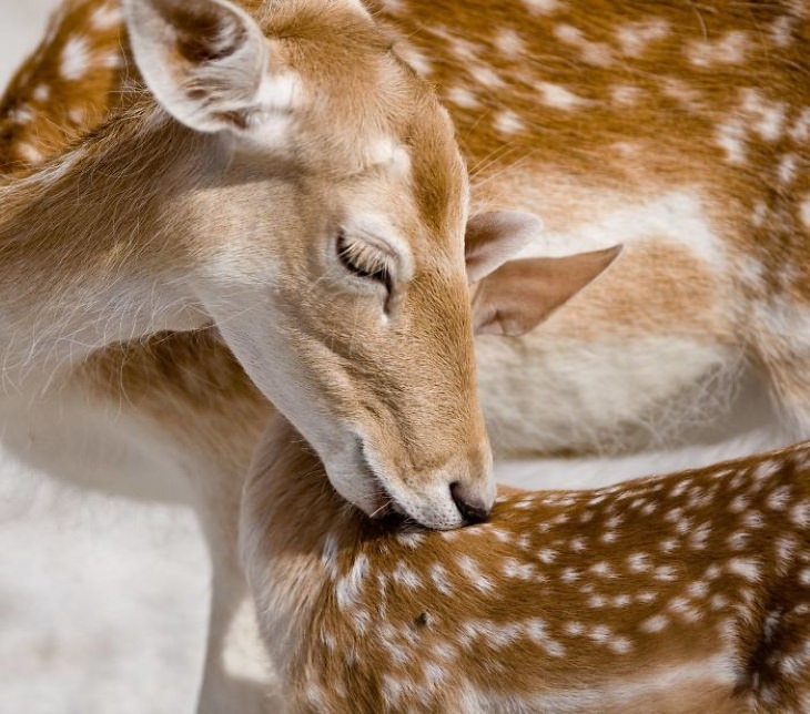 Photos of Motherly Love in Nature by Goran Anastasovski fawn