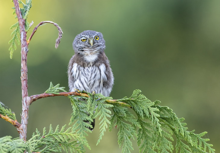 "Comedy Wildlife Preview 2020 ""Rough Night."" Northern Pygmy Owl, British Columbia, Canada"