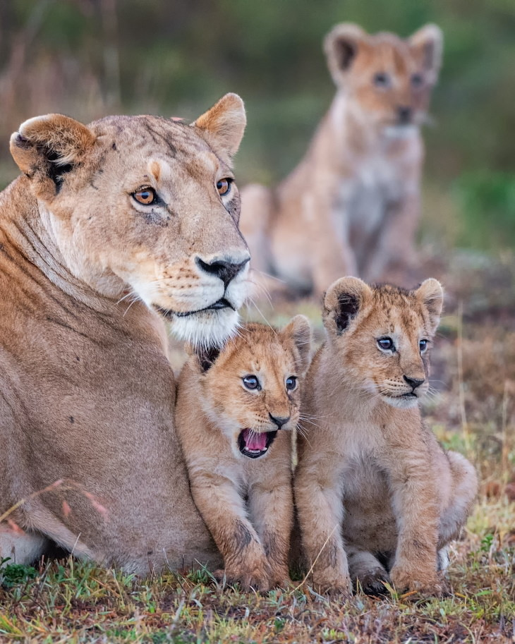 "Comedy Wildlife Preview 2020 ""Wowza!"" by - Lion Cubs and Their Mother in Masai Mara, Kenya"