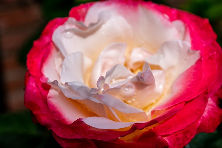 Intensely Fragrant Roses, Double Delight