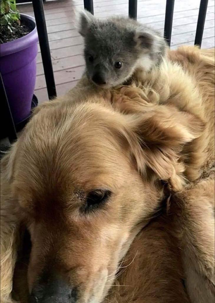 Animal Guests  baby koala