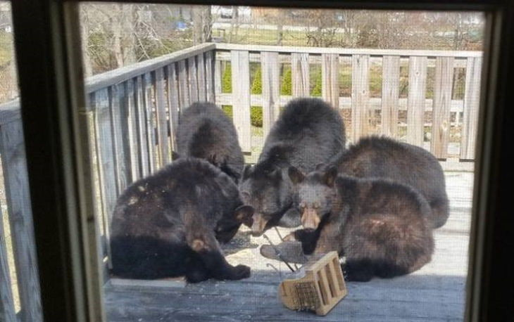 Animal Guests bears