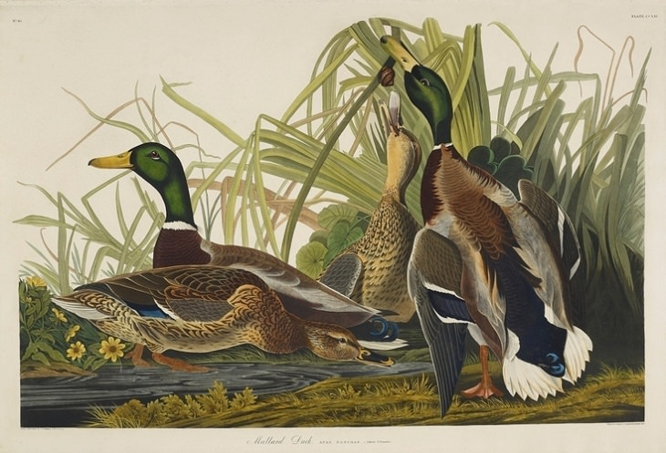 Watercolor Paintings of Birds , Mallard Duck