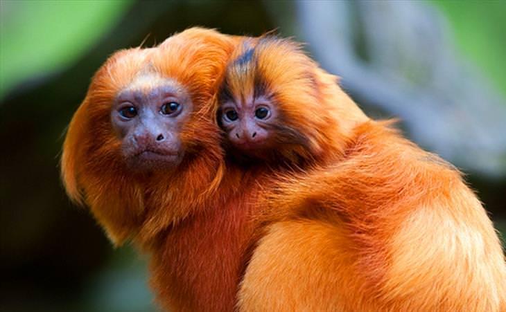 Best Animal Dads Golden Lion Tamarin