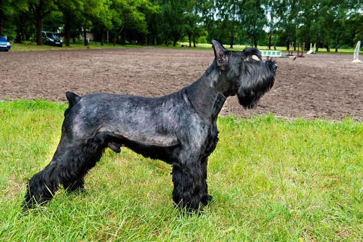 Best Guard Dog Breeds, Giant schnauzer