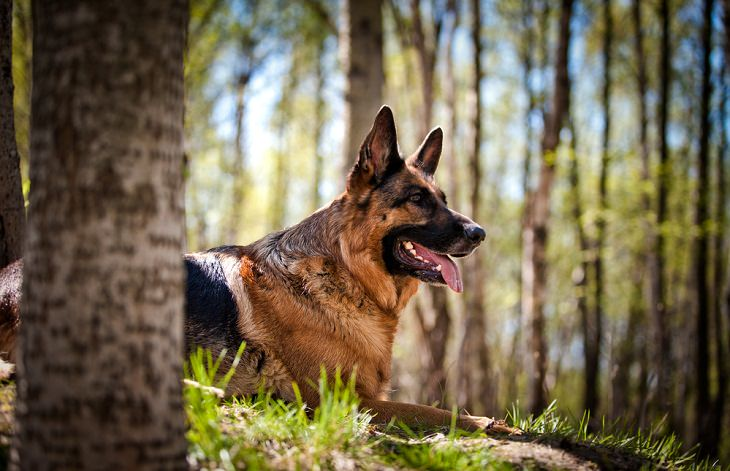 Best Guard Dog Breeds, German shepherd dog
