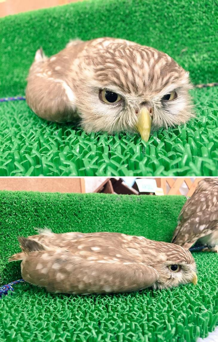 There is NOTHING Cuter Than A Sleeping Baby Owl