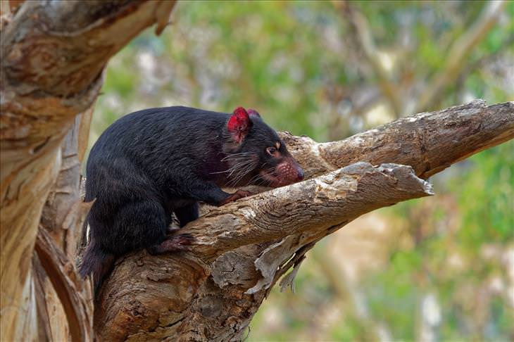5 Animal Mysteries That Are Puzzling Scientists Tasmanian devil