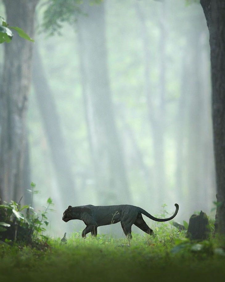 Photos of the Rare Black Panther & Other Big Cats by Shaaz Jung