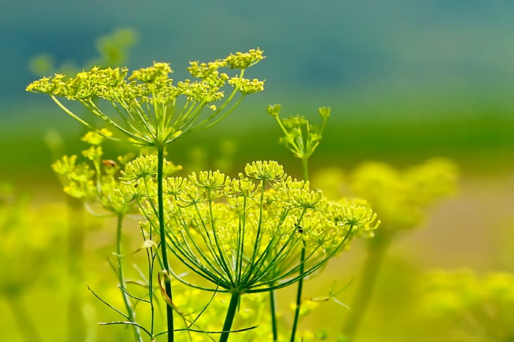 Herbs with Antiviral Properties Fennel
