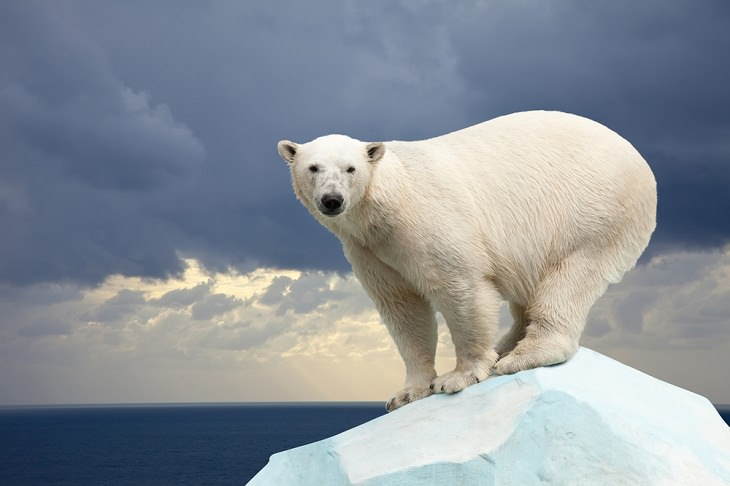 Solitary Animals, polar Bear