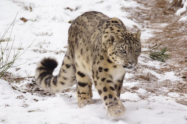 Solitary Animals, Snow Leopard