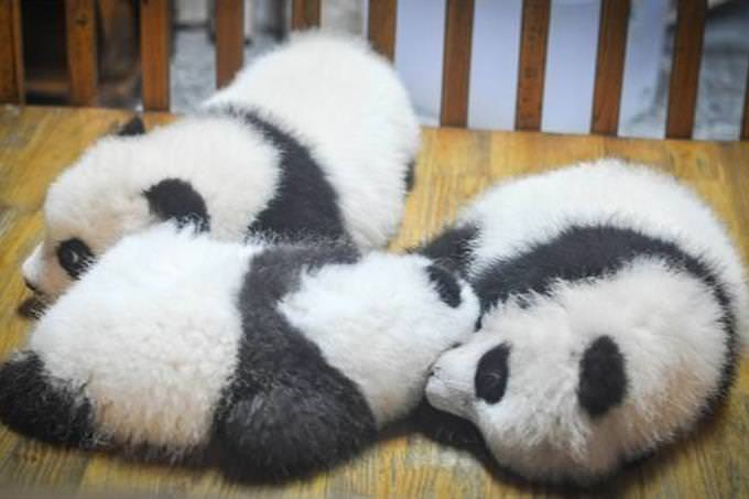 3 panda cubs