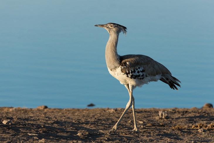 world's biggest birds, Kori bustard