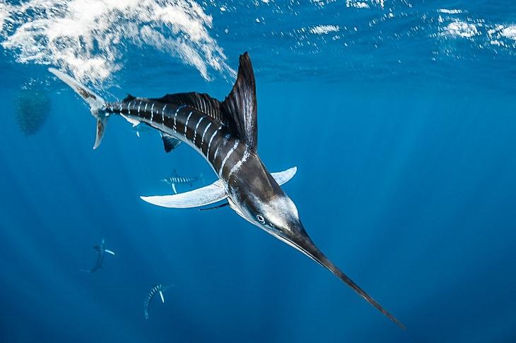 Underwater photography, Atlantic blue marlin