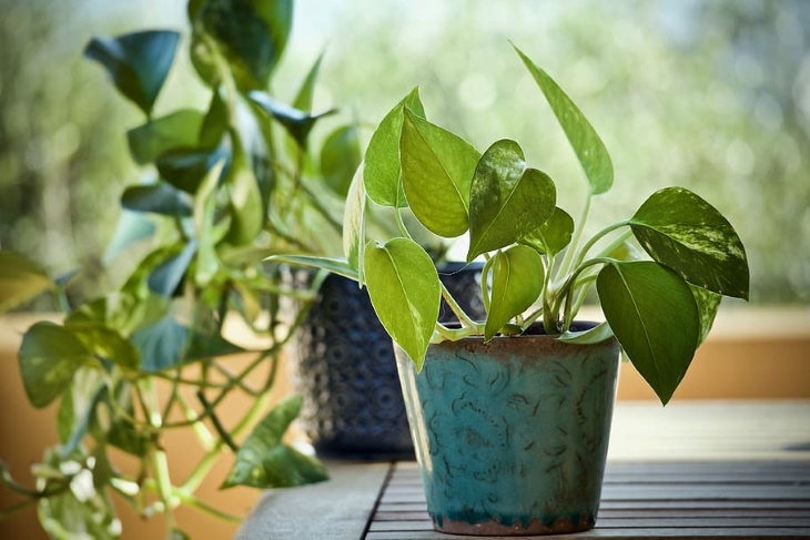 easy to grow plants Pothos (Epipremnum)