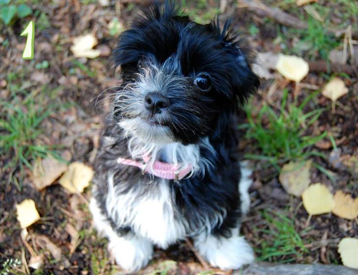 Guess the dog breeds based on puppy photographs