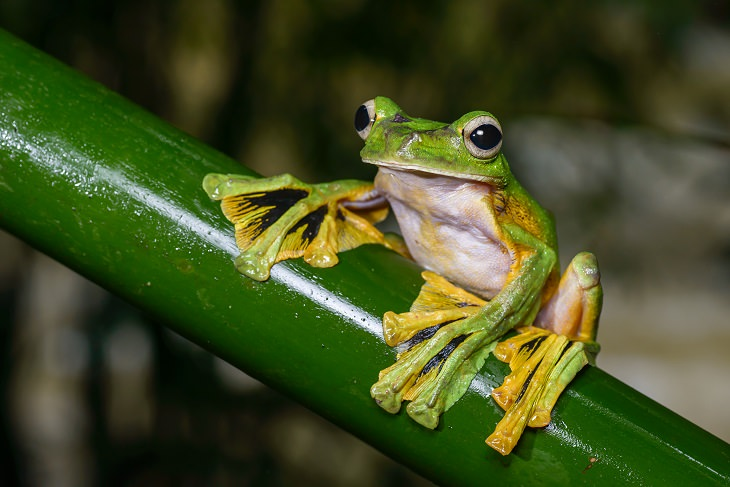 Animals That Fly,  Flying frog