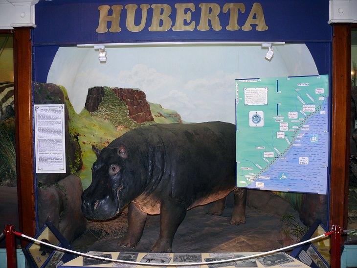 Weirdest Historical Events, Huberta, The Traveling Hippo