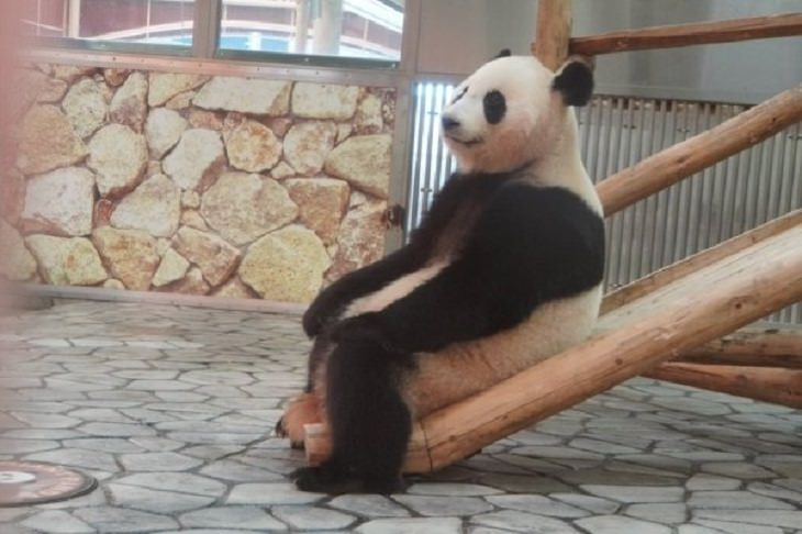 Funny animals, panda