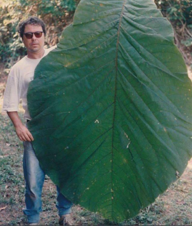Comparison Photos life sized leaf
